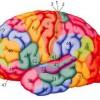 הבזקי אור סייעו לווסת תקשורת במוח