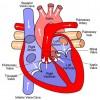 מנגנון המאפשר התחדשות ושיקום של הלב לאחר פציעה