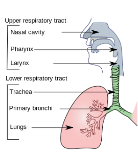 קנה הנשימה. מקור: ויקיפדיה ברשיון שימוש חופשי. באדיבות: cancer.gov. מאת: Lord Akryl